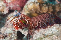 BD-111123-Raja-Ampat-5085-Odontodactylus-scyllarus-(Linnaeus.-1758)-[Reef-odontodactylid-mantis-shrimp].jpg